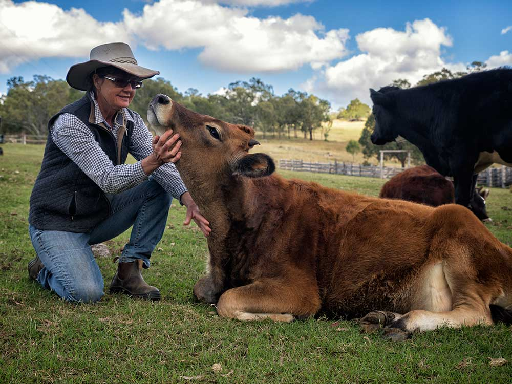 BunyipSprings Farmstay cow photograph