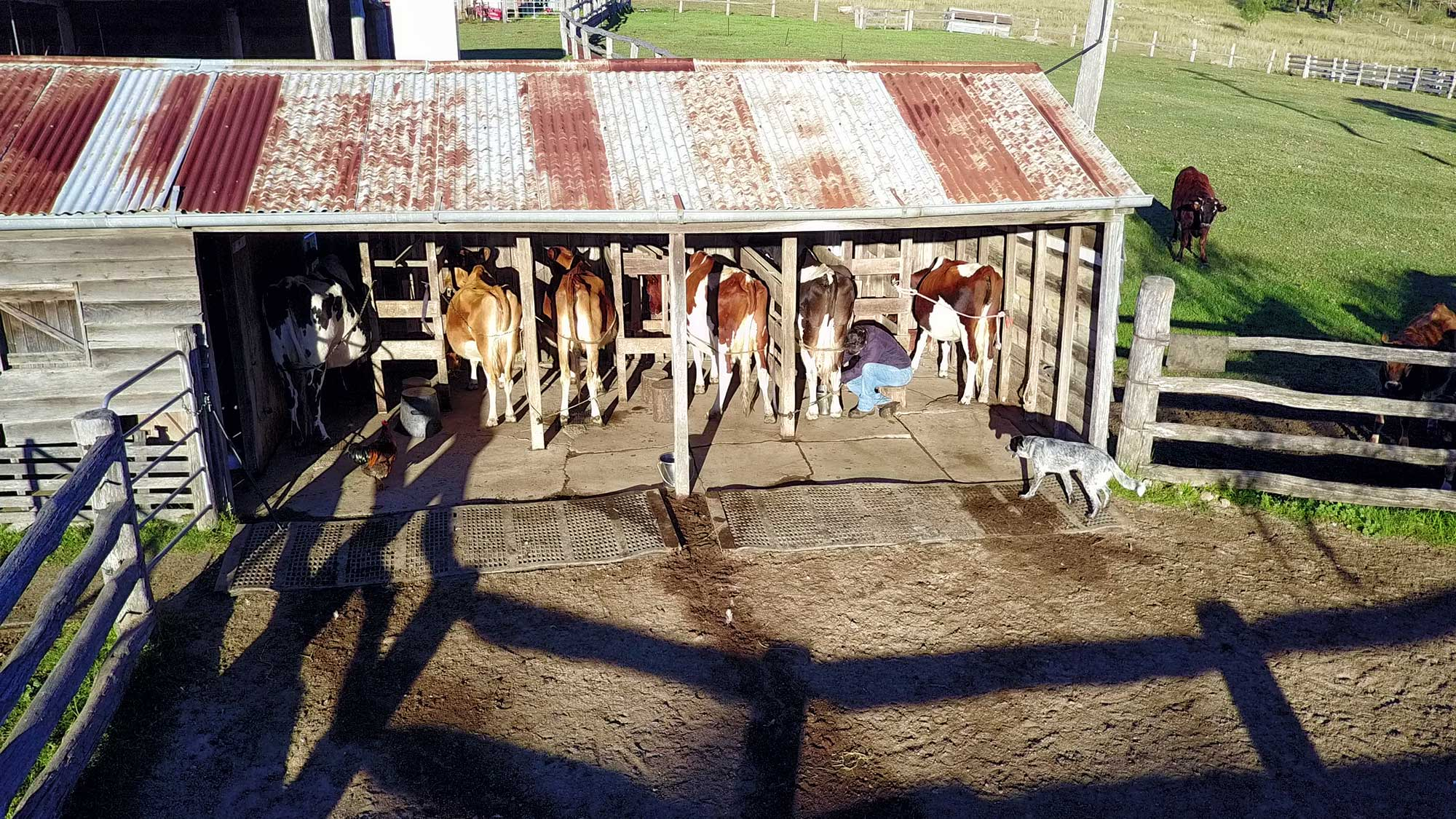 BunyipSprings FarmStay 2.7K Video Drone Photographs milking the cows